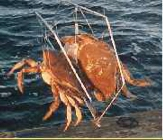 Large Sporty Crab Traps