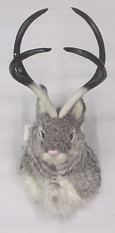 Four Pt. Jackalope Shoulder Mount